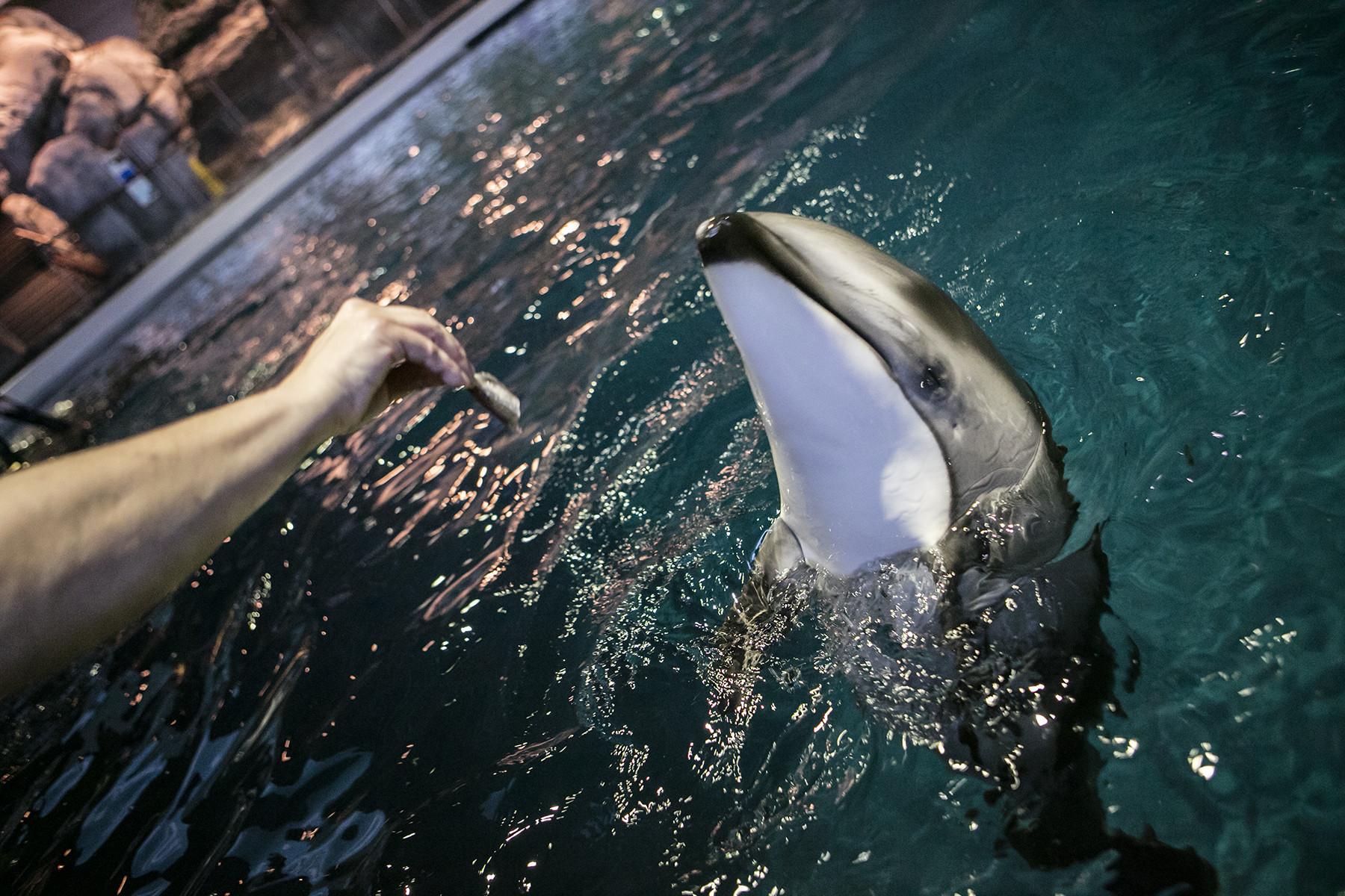Shedd Aquarium Names Pacific White Sided Dolphin Calf