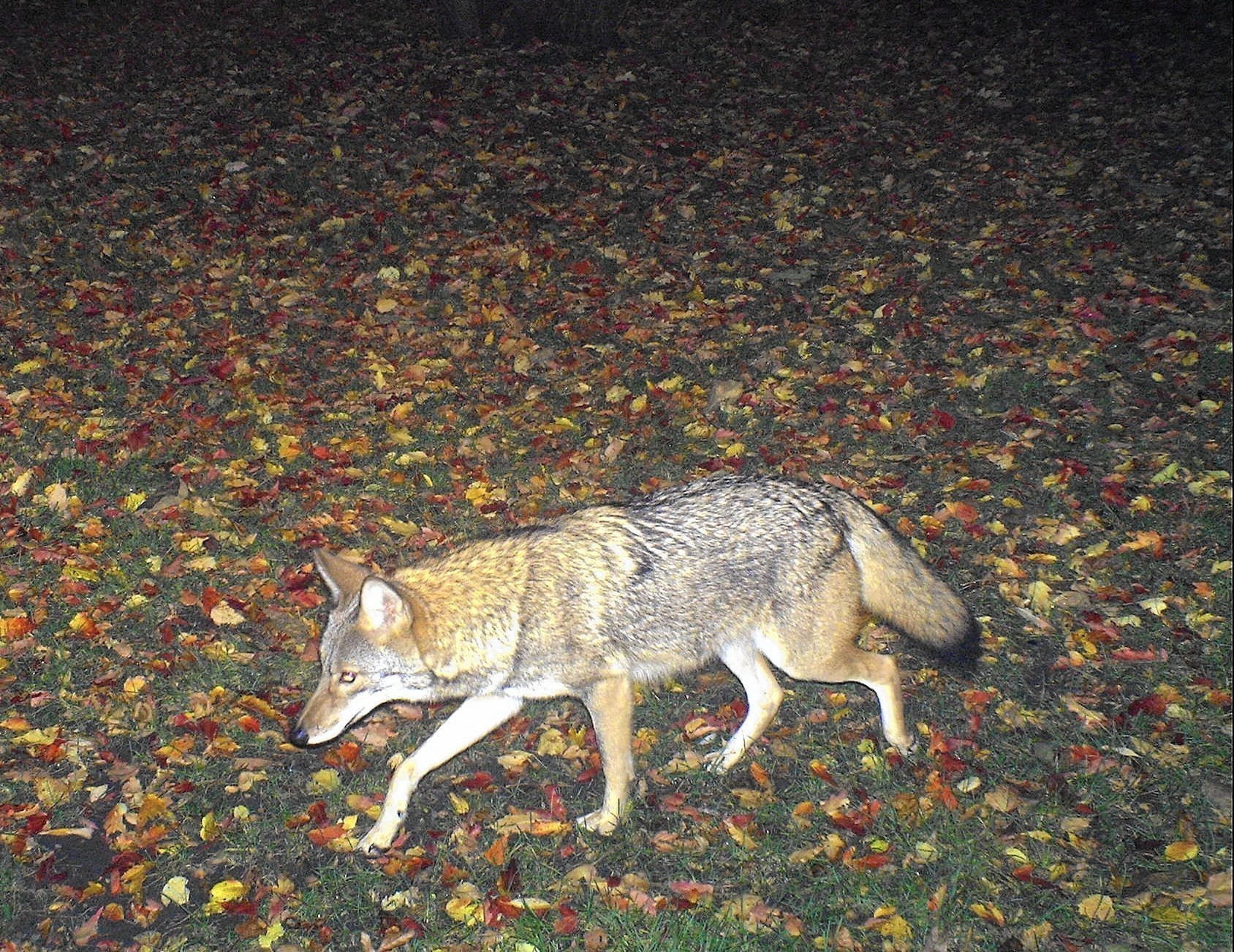 Coyote Encounter A Deeper Understanding Of The Wild Dog