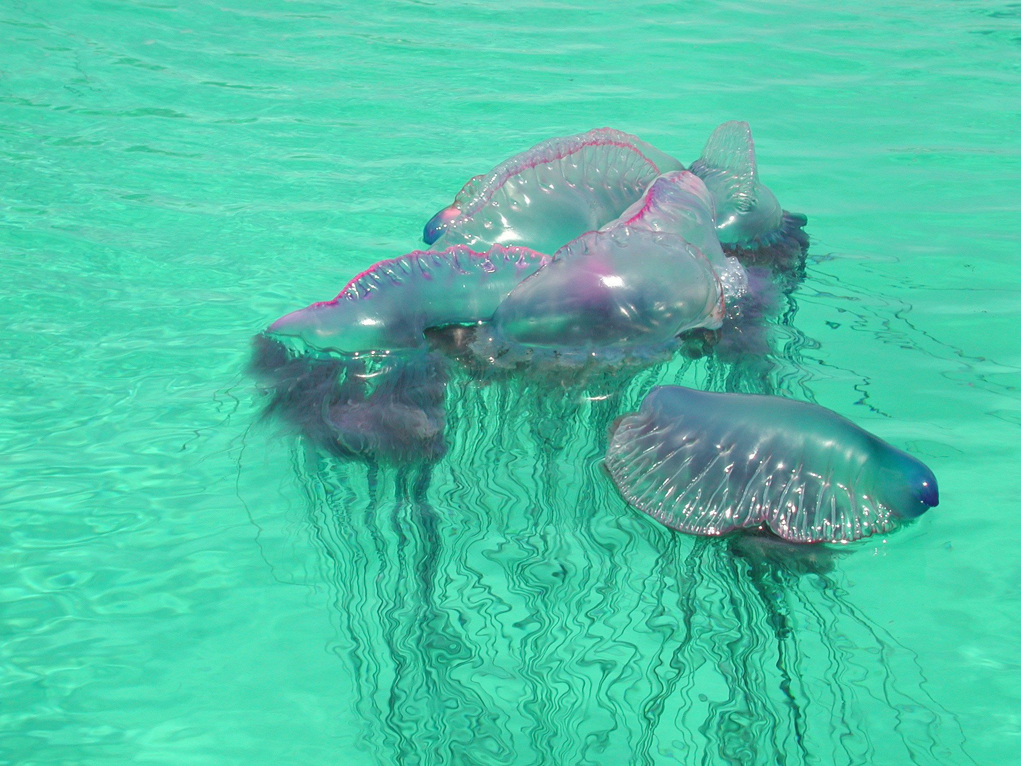 Image Result For What Is A Portuguese Man O War National Ocean Service