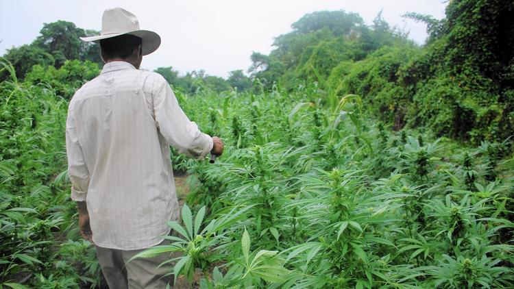 A farmer walks through a marijuana field in Mexico. (Los Angeles Times)