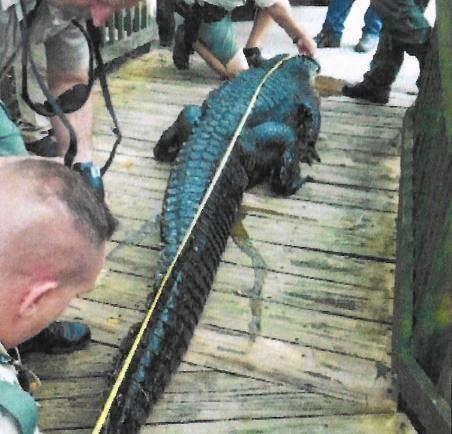 Alligator Bites Human