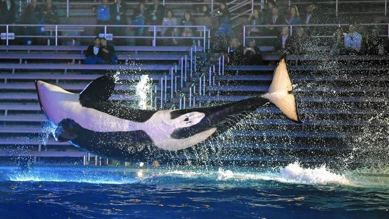 An orca at Sea World