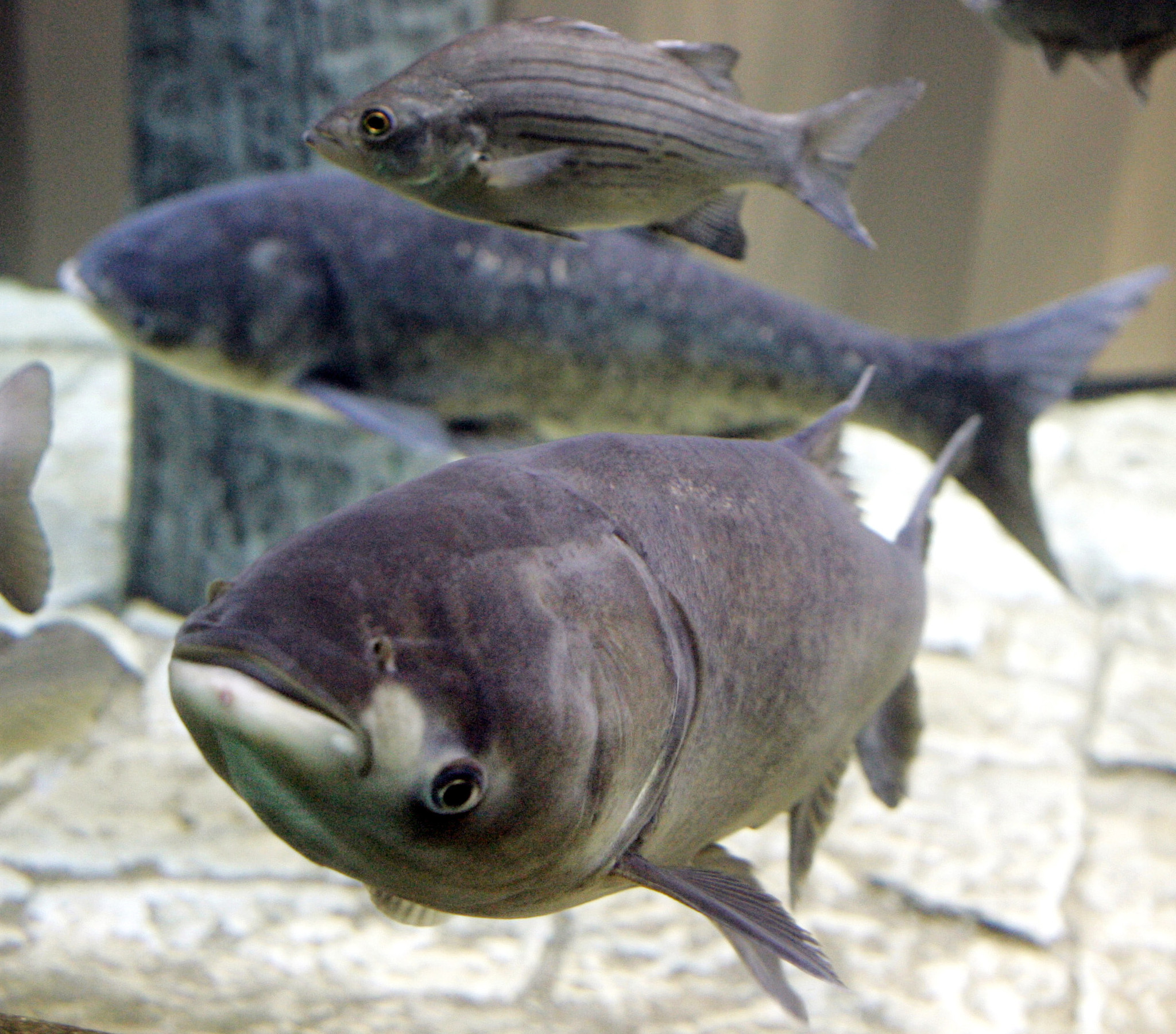 Asian carp native home