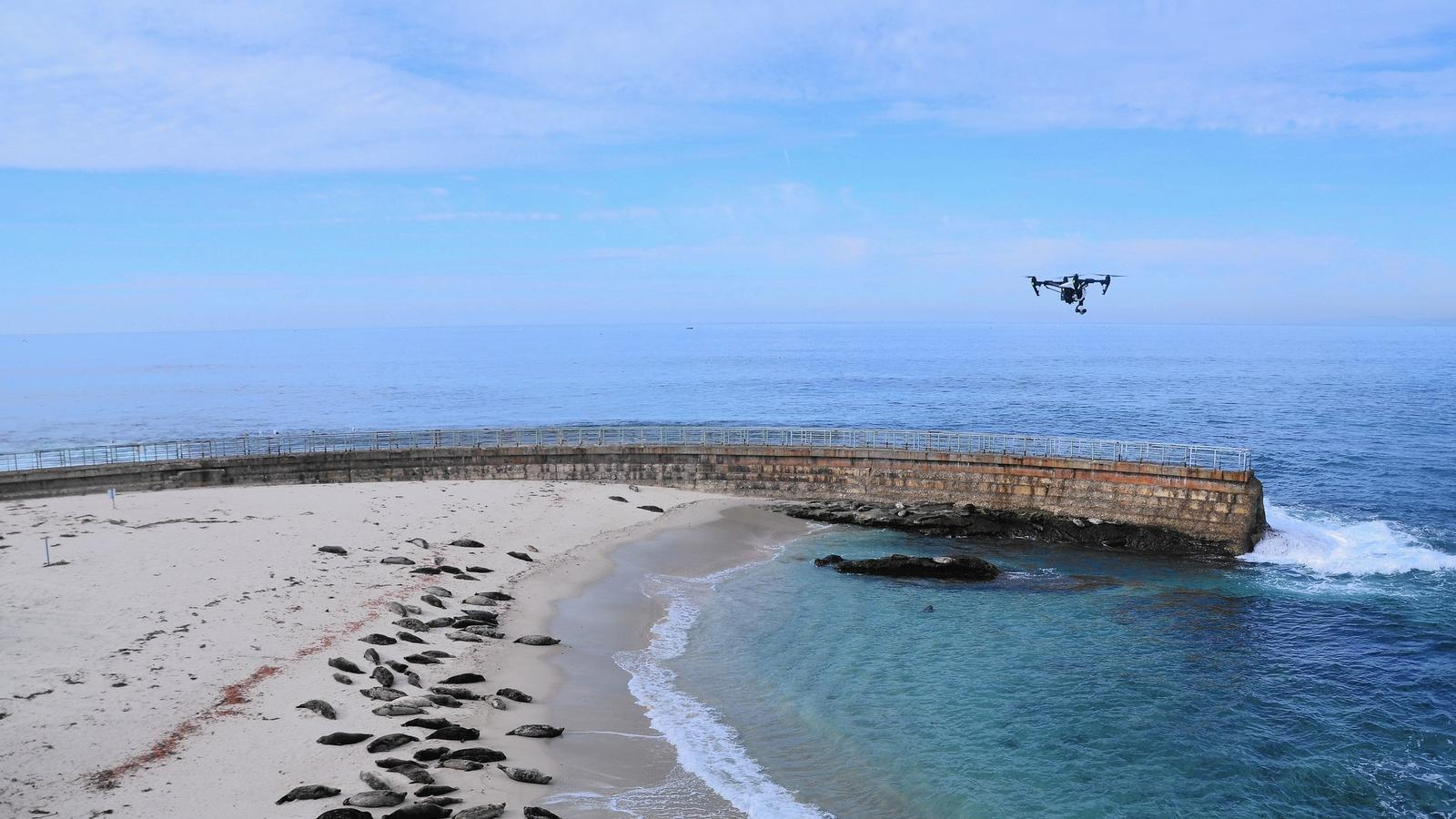 A drone hovers over seals and sea lions at Children's Pool Beach in La Jolla. (Christopher Reynolds / Los Angeles Times)