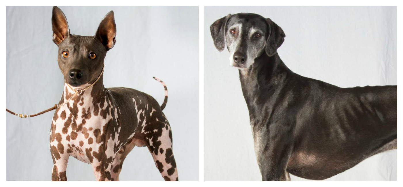 2 New Dog Breeds Recognized By American Kennel Club