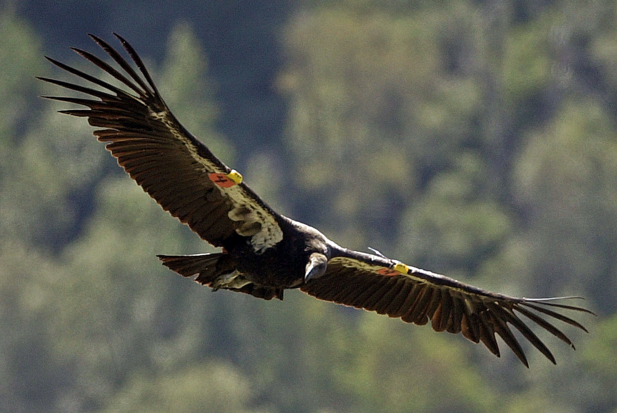 the california condor The california condor is among the rarest and most imperiled birds in the world although it can be found in several southwestern states and in mexico, it is a distinct part of california's natural heritage, so much so that it was recently included as one of the state's most notable icons on the.