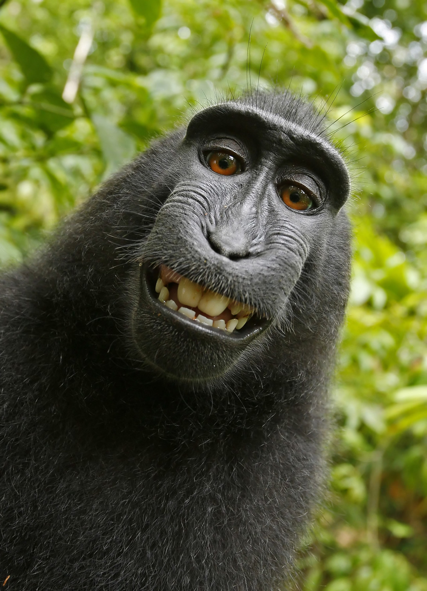 Judge rules monkey cannot own selfie photos copyright