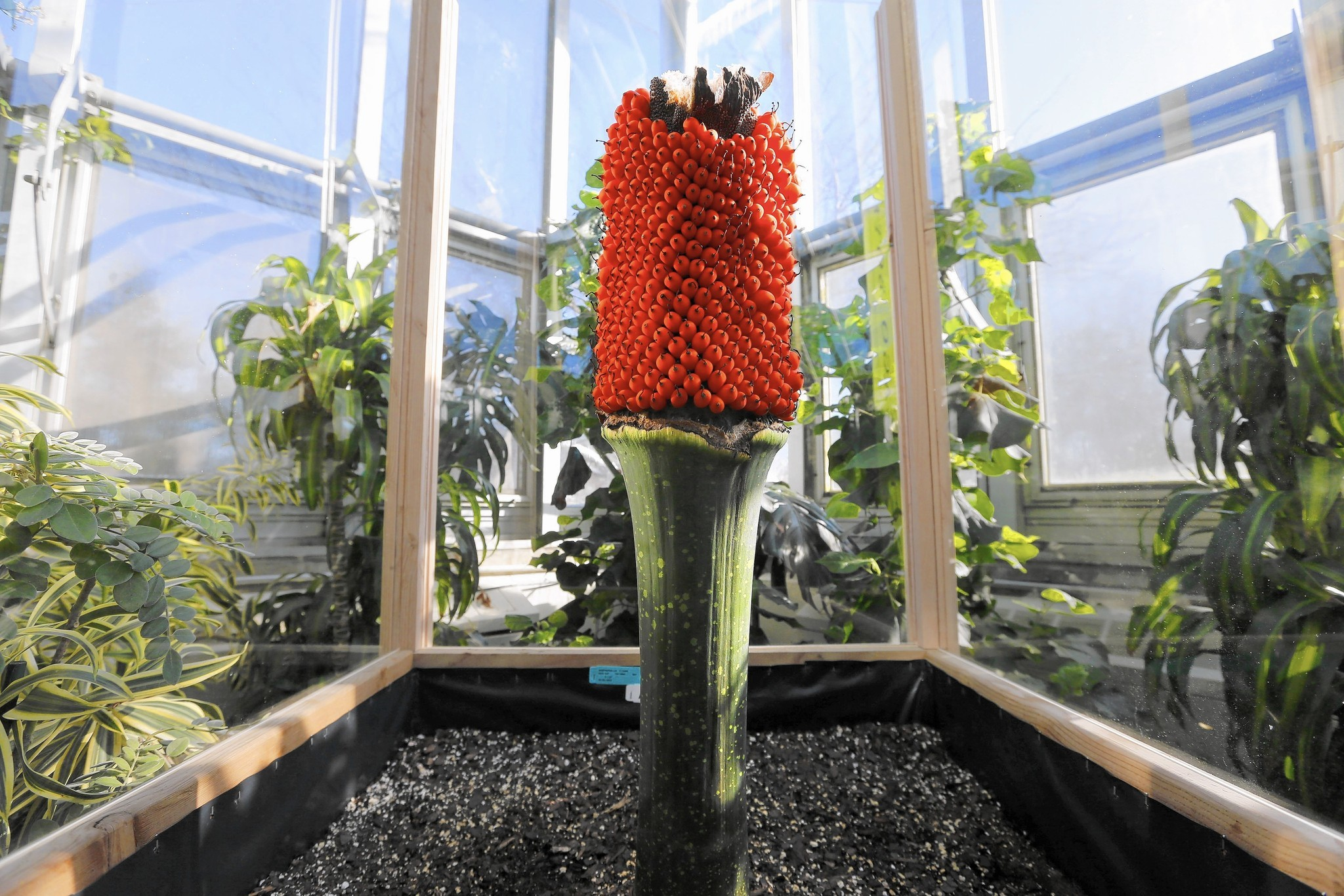 Alice the corpse flower fruiting at Chicago Botanic Garden Glencoe News