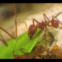 Videos reveal the amazing lives of leafcutter ants, nature's underground farmers