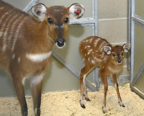 <p>Jess, right, is one of the two female sitatunga, a species of antelope found in Central Africa, born in December at the Maryland Zoo in Baltimore. Jess was born Dec. 7; Noel was born on Christmas, of course.</p>