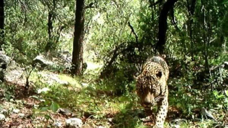He roams alone: El Jefe may be the last wild jaguar in the U.S. - LA Times