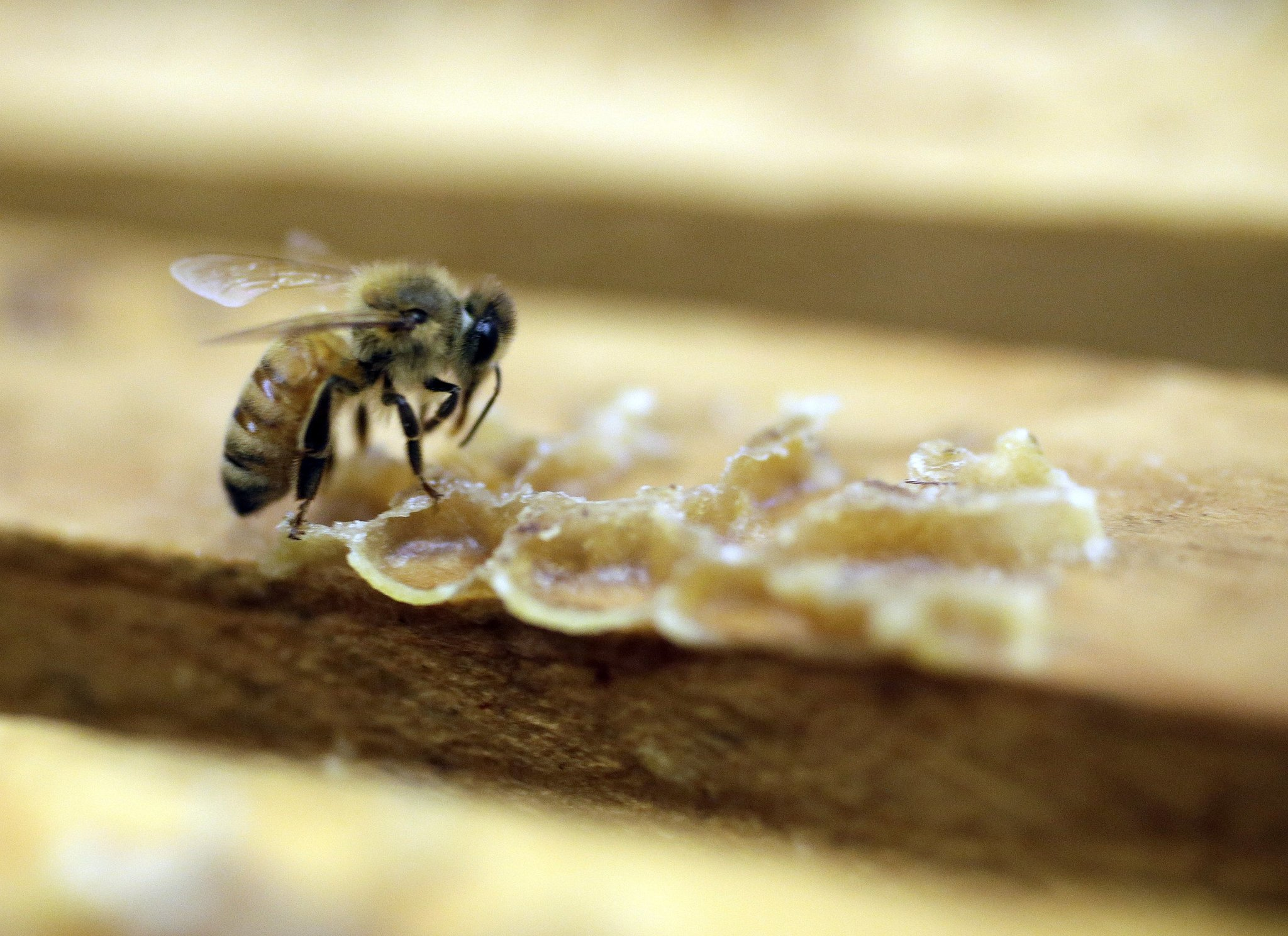 Scientists say spread of virus that's killing honeybees 'a man-made thing'