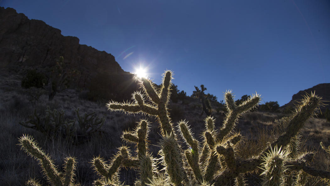 A cholla cactus is backlighted by the setting sun in the Mojave Desert. (Gina Ferazzi/Los Angeles Times)