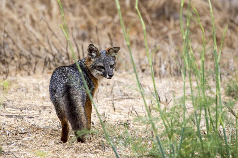 Island fox. (Jabin Botsford / Los Angeles Times)
