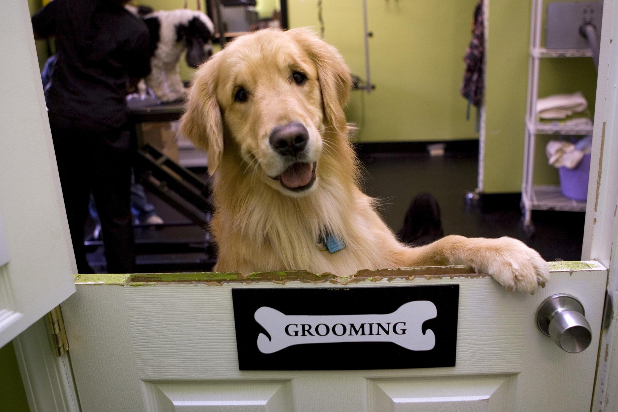Labrador retrievers hit their 25th year as top U.S. dog breed