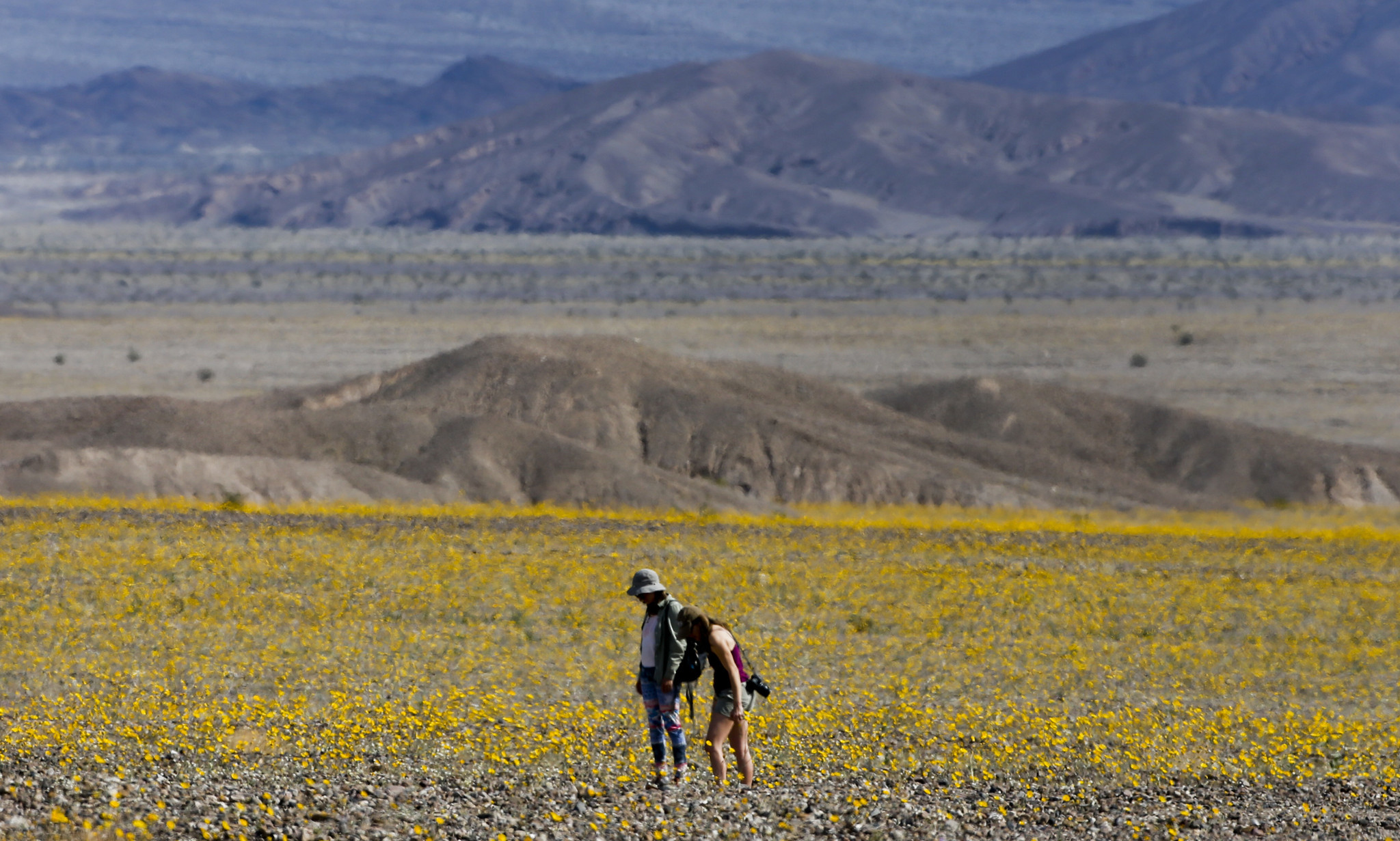 Death Valley s super bloom Daily Press