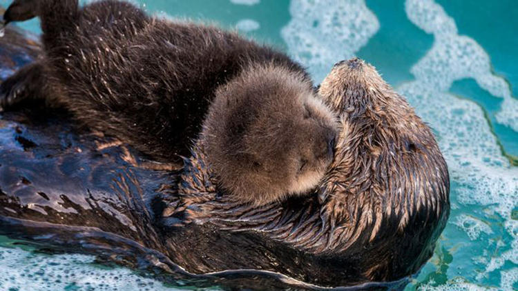 Sea otter gives birth to pup