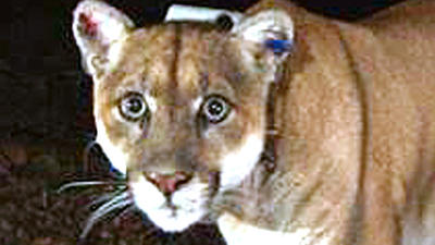 Is P-22 mountain lion too dangerous for Griffith Park? Koala death sparks debate