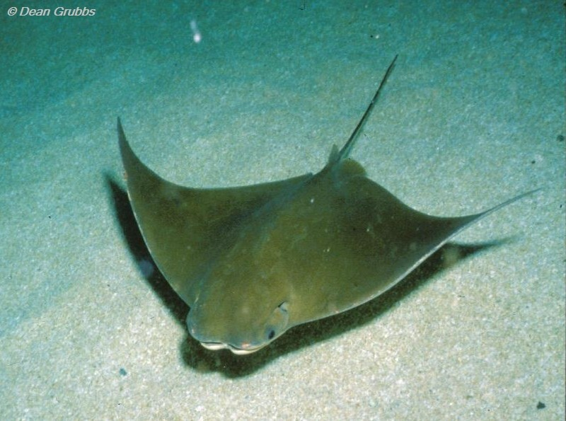 Florida Study Challenges Blaming Rays For Chesapeake