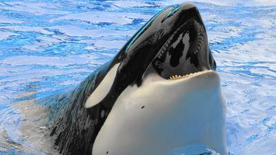 SeaWorld CEO: We're ending our orca breeding program. Here's why.