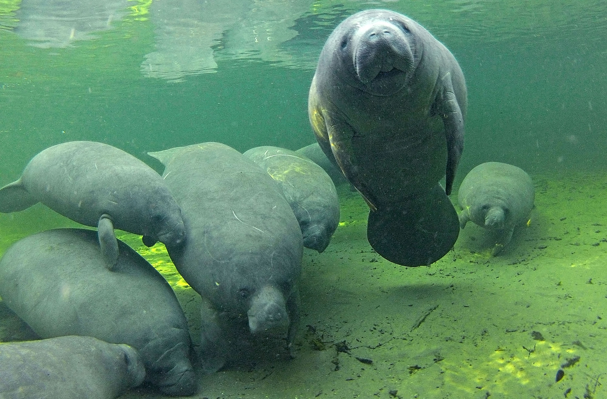 7 manatee facts to impress friends with on Manatee ...