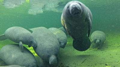 7 manatee facts to impress friends with on Manatee Appreciation Day