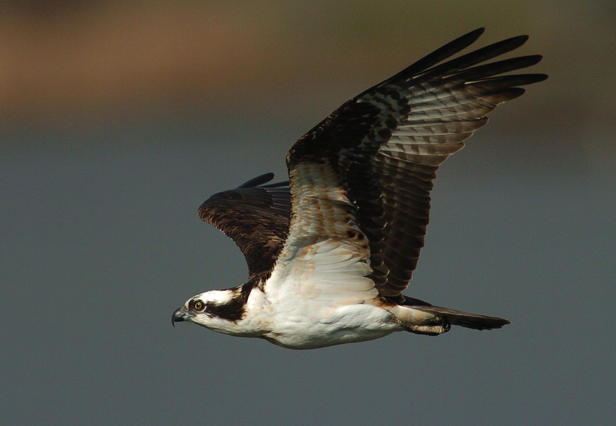 a study on ospreys Osprey, pandion haliaetus use of study area resources: reproduction and  foraging throughout the study area ospreys have a world-wide distribution.