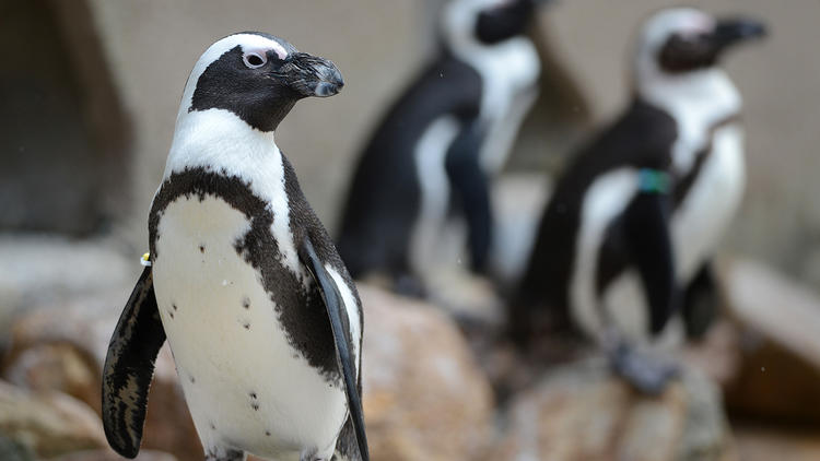 PICTURES: African penguins at the Lehigh Valley Zoo