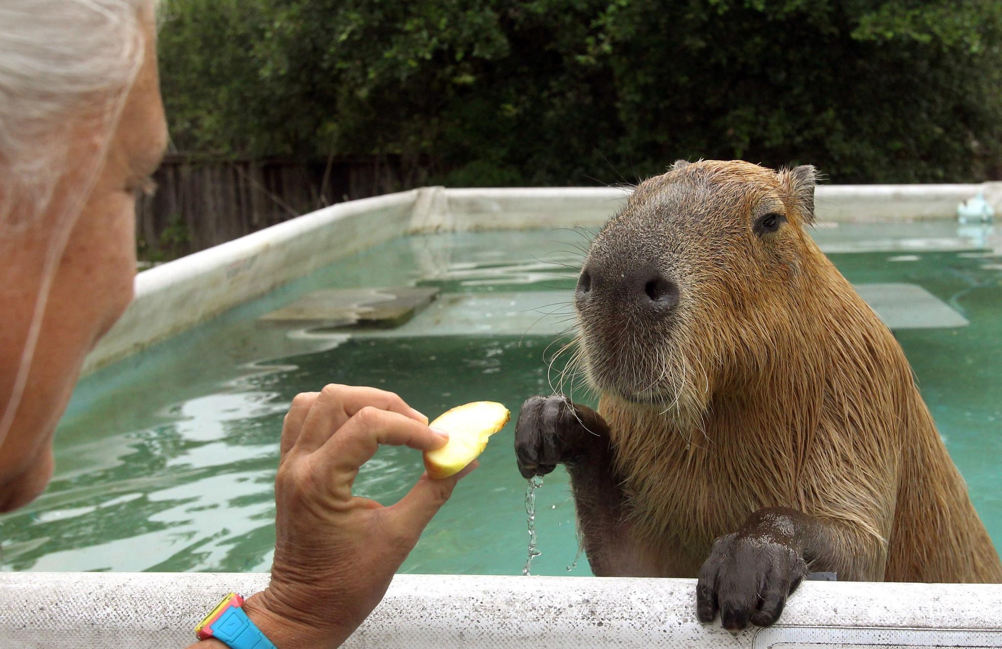 Kết quả hình ảnh cho friendly capybaras