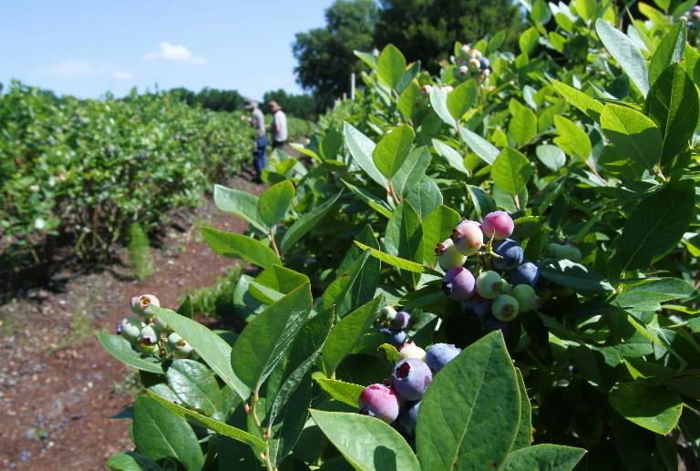 Enjoy blueberry season with a U-pick trip - Orlando Sentinel