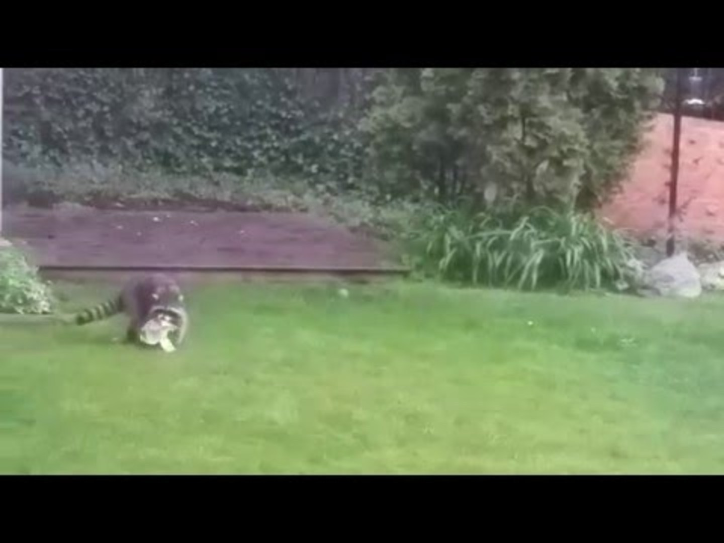raccoon has a blast while playing with ball chicago tribune