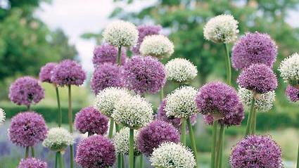 White flower farm recommends baltimore sun white flower farm recommends mightylinksfo