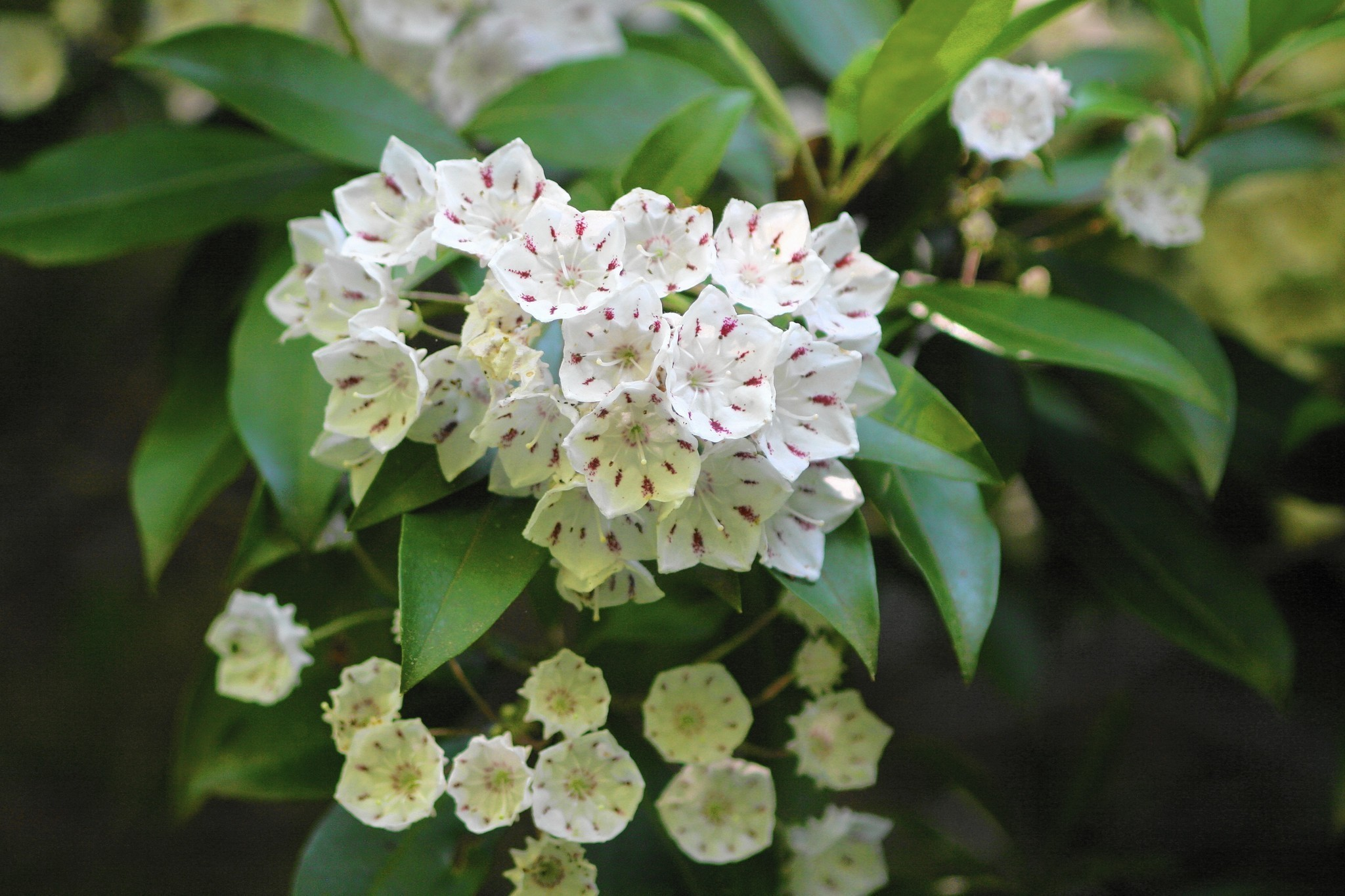 Diggin In  Look Beyond Azalea Shrubs, Consider Mountain Laurel  Daily  Press