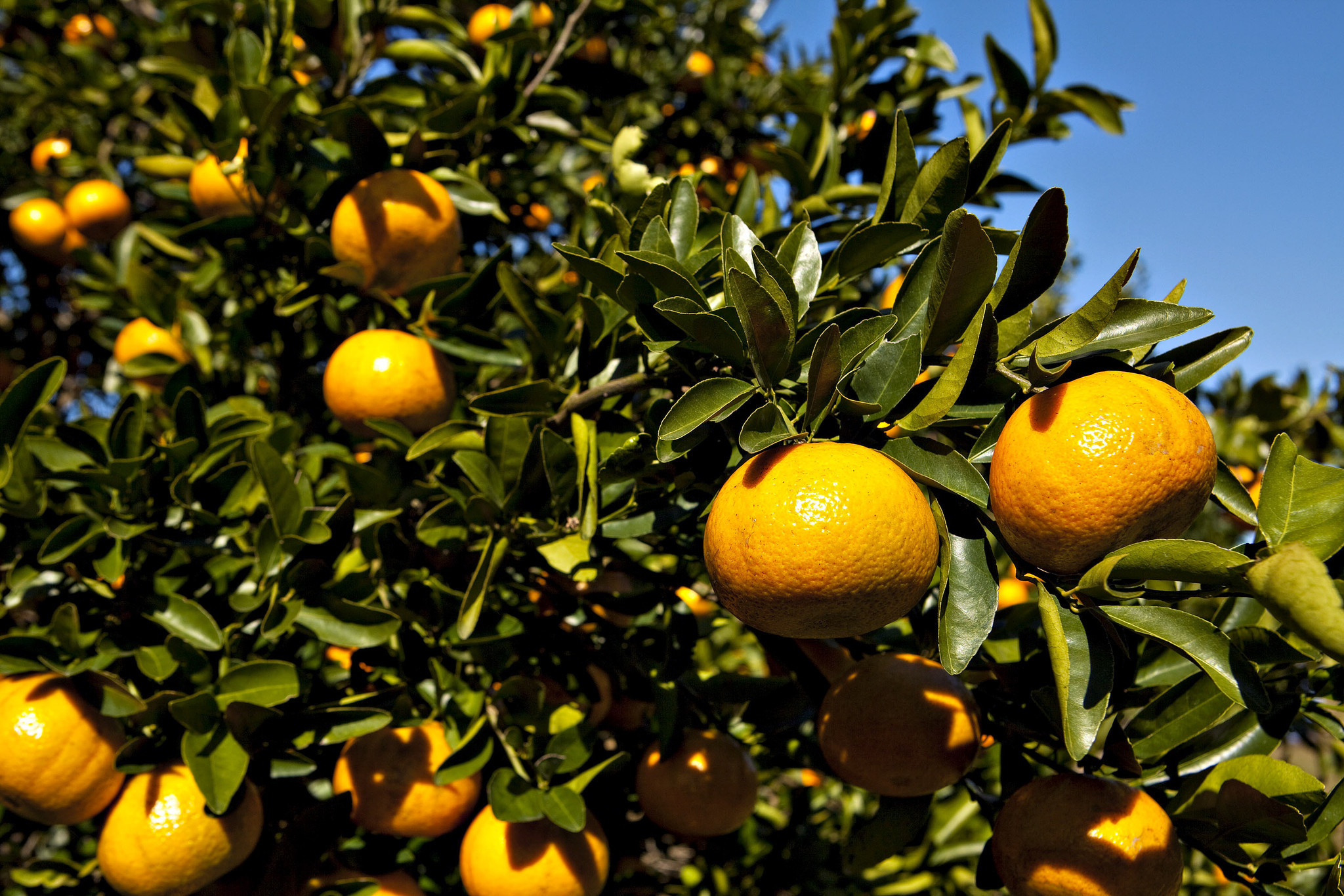 florida u0027s orange crop estimate gets sunnier sun sentinel