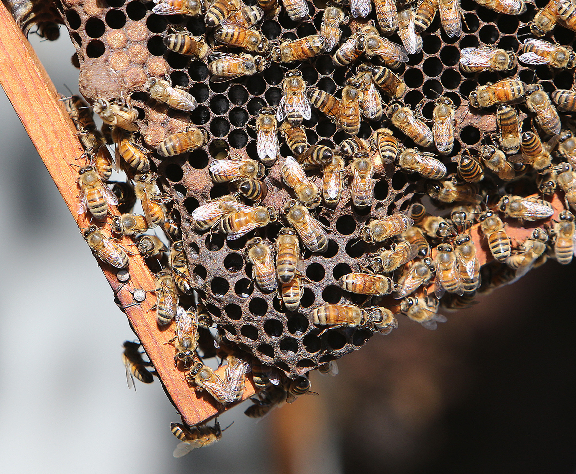 More bad news for honeybees: Beekeepers lost nearly half their colonies in past year