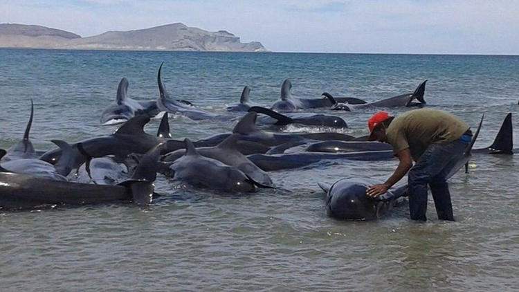 Pilot whale rescue effort