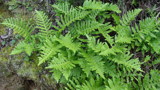 Native Ferns Are An Easy Way To Add Some U0027greenu0027 To Your Drought Garden