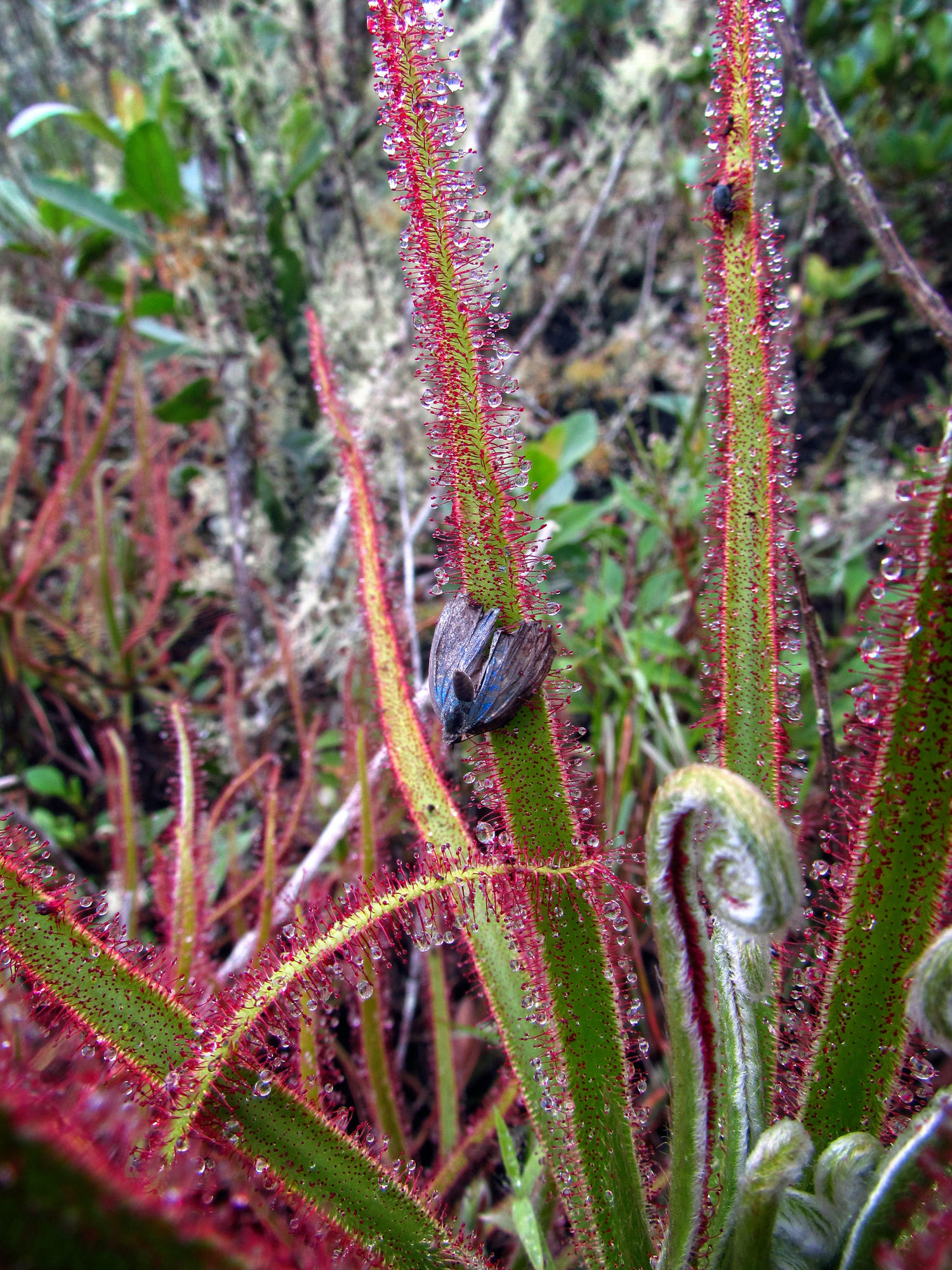 The giant sundew with prey, a small butterfly.