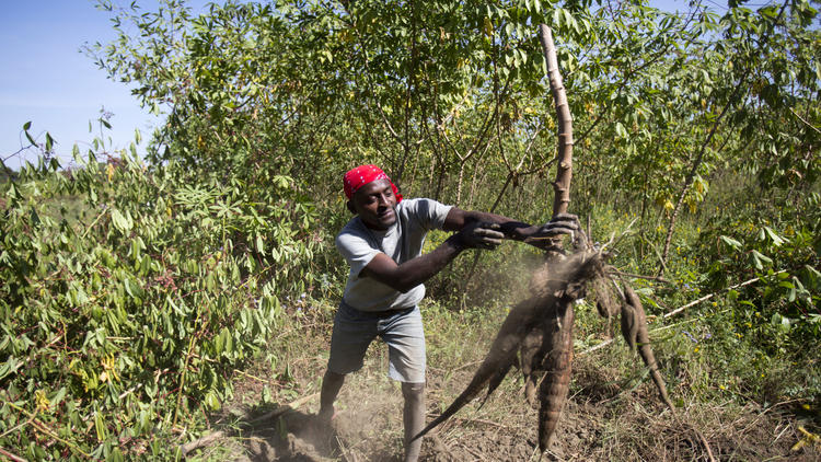 Farmer Waziri Strahare harvests cassava near the Farm Concern's Cassava Village Processing center in Tanzania on Sept. 3, 2013.