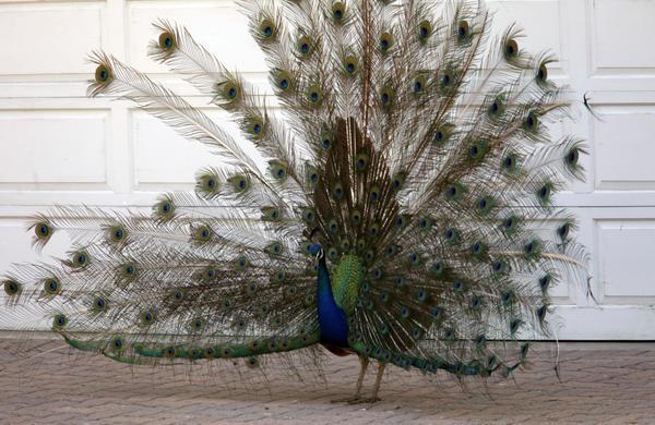 Rancho Palos Verdes to continue peacock eviction program