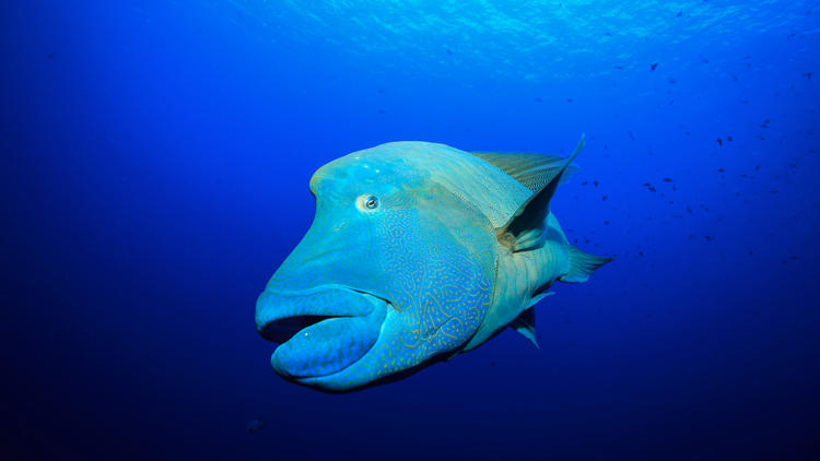 The endangered humphead Maori wrasse has suffered dramatic population declines over the last few decades as a result of overfishing. This photo was captured in Palau, Micronesia.
