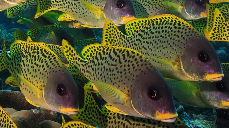 Blackspotted rubberlips (Plectorhinchus gaterinus) form a dense school on a reef in the Western Indian Ocean.