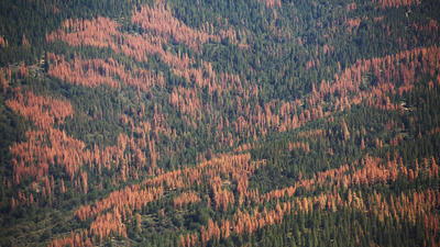Dead trees aren't a wildfire threat, but overlogging them will ruin our forest ecosystems