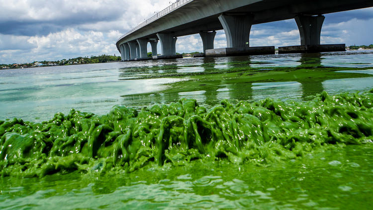 Lake Okeechobee algae