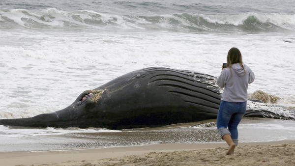 A beachgoer takes a closer look at a dead humpback whale at Dockweiler State Beach on Friday morning.