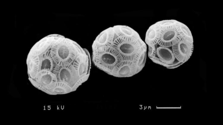 Phytoplankton species Emiliania huxleyi absorbs carbon dioxide in the ocean to build its calcium carbonate scales.