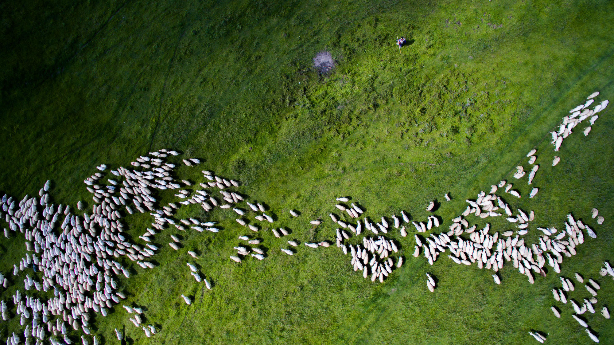 """""""Swarm of Sheep"""" by Szabolcs Ignacz took second place in the nature/wildlife category."""