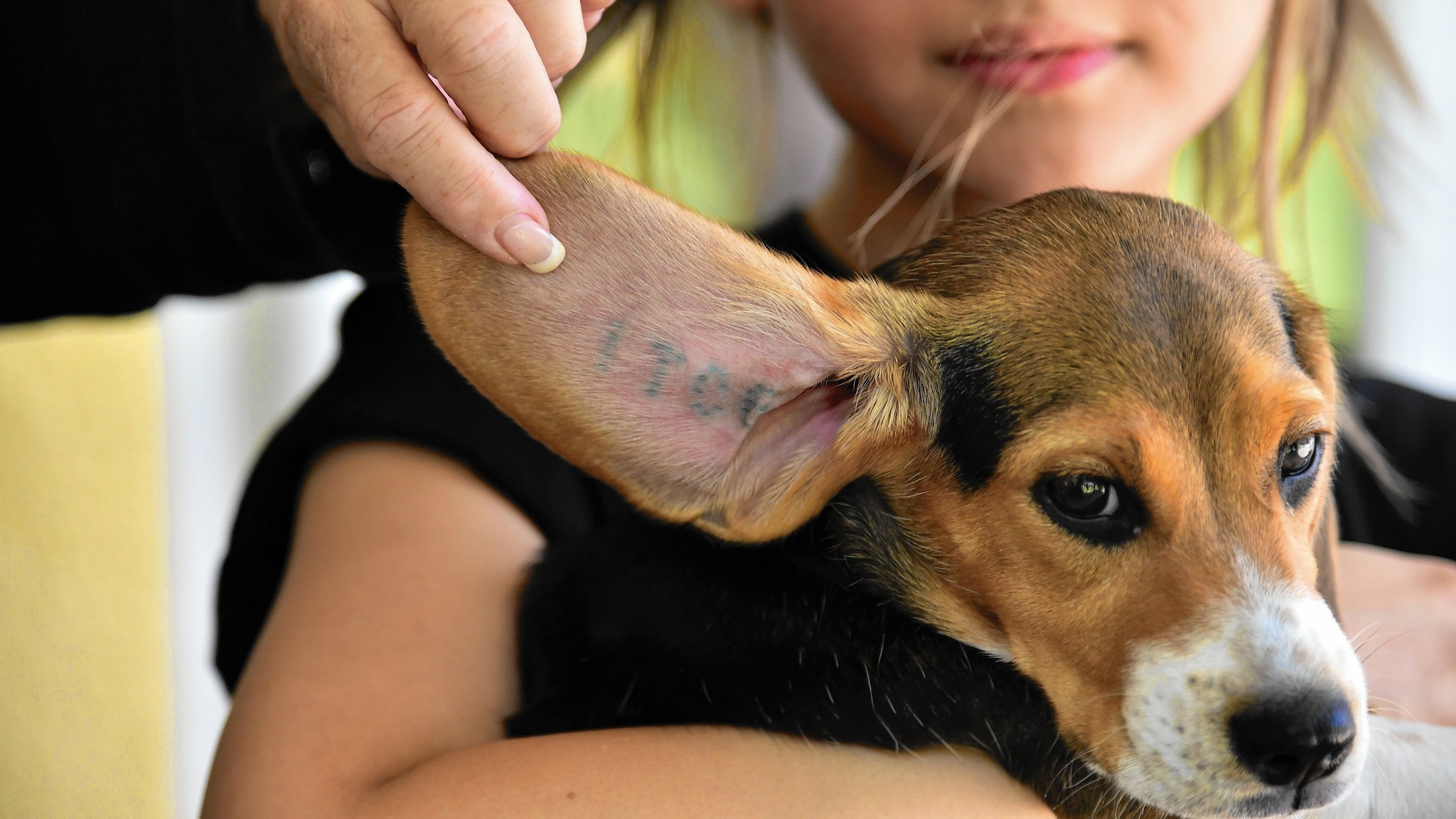 has questions to answer about beagle experiments   orlando sentinel
