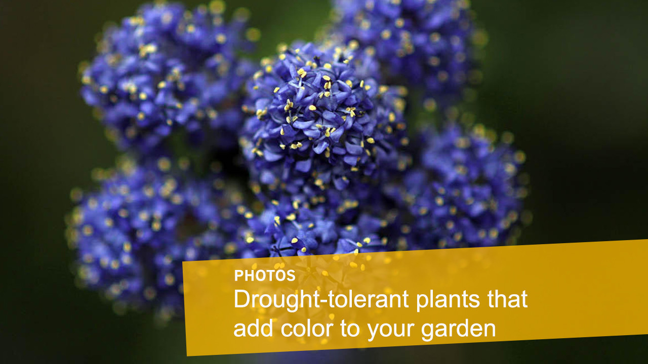Drought Tolerant Plants That Will Look Great In Your Garden!   LA Times
