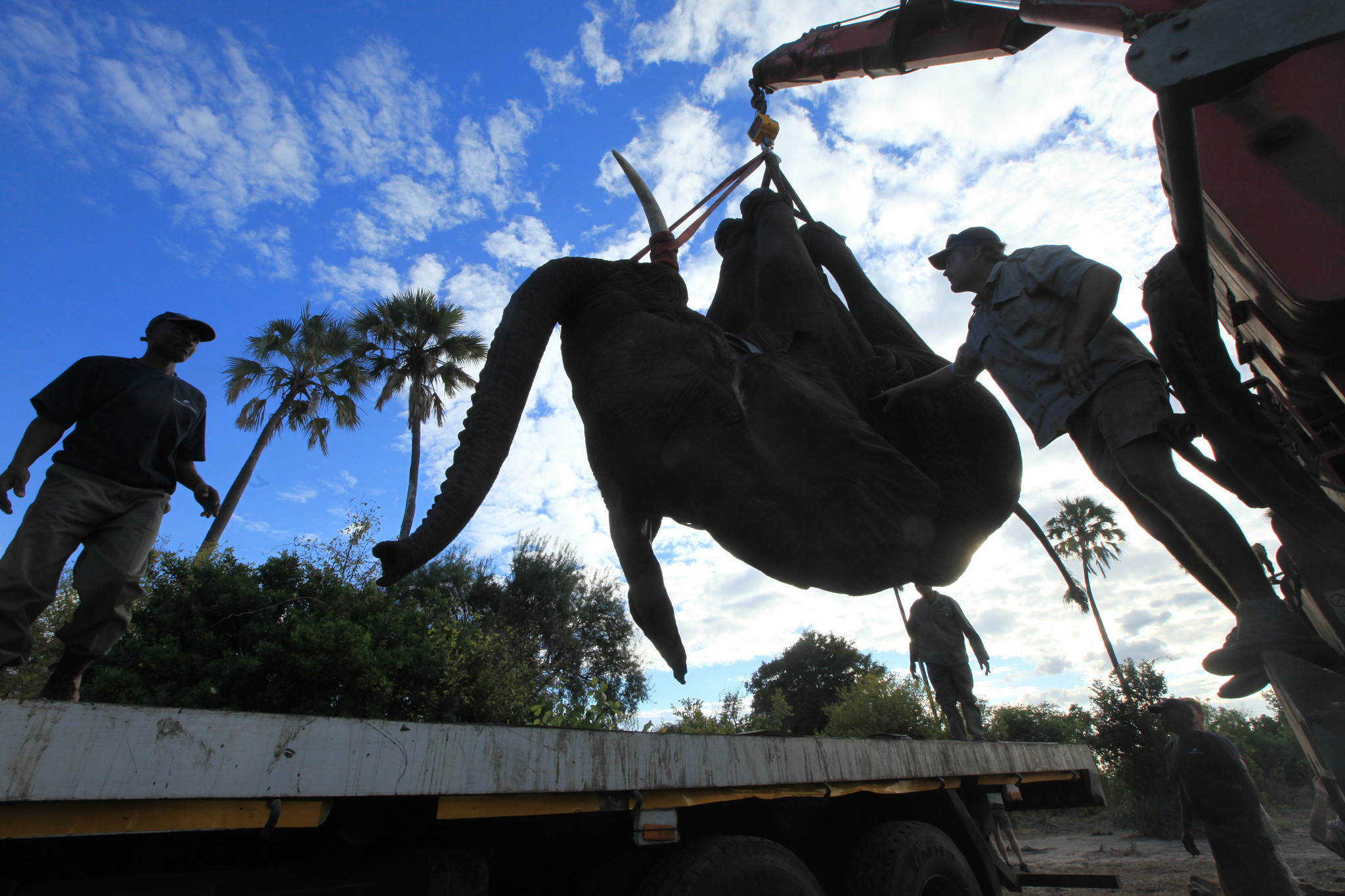 500 elephants relocated in massive man made african animal migration chicago tribune